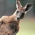 Gioja también invita a los canguros