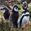 10.000 pingüinos de Magallanes peligran por mina de carbón