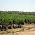 Quieren transformar el sur de Chile en desierto verde