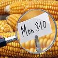 Monsanto prohibido en Polonia, Bélgica, Gran Bretaña, Bulgaria, Francia, Alemania, Irlanda y Eslovaquia