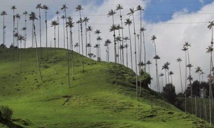 Reserva de palmas de cera amenazada por explotación de oro a cielo abierto