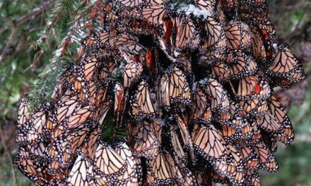 Mariposas contra la mina en Angangueo