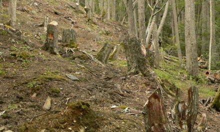 Crece la tala ilegal de bosques nativos en la Patagonia