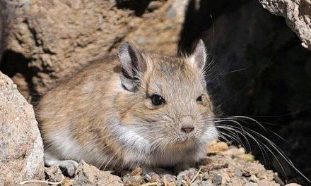 Primero el oro: Minera Gold Fields «reubicará» chinchillas amenazadas por su actividad en Chile