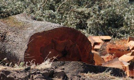 El juzgado vuelve a autorizar la tala de encinas para la mina de uranio